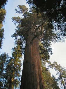 """General Sherman"" in the Sequoia National Park"